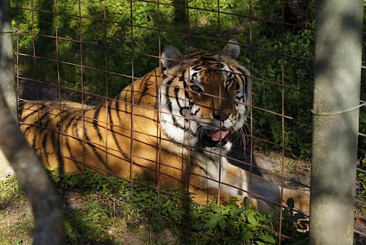 Tier-Tiger