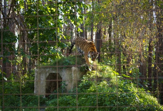 Tiger-in-Natur