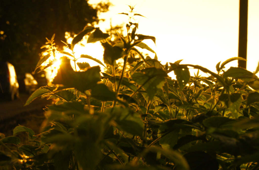 Brennessel-Sonnenuntergang