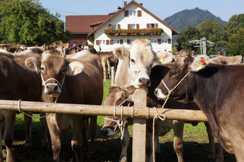 Kühe-Allgäu