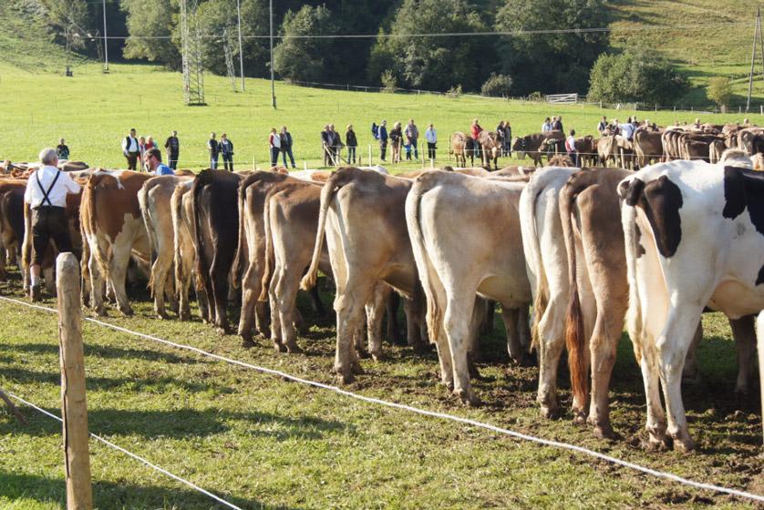 Kühe-Rückenansicht