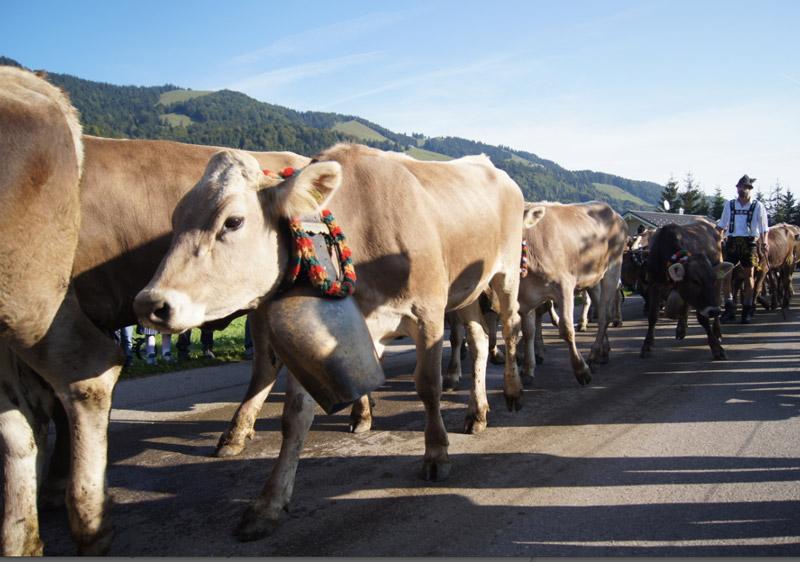 Kühe-Viehscheid