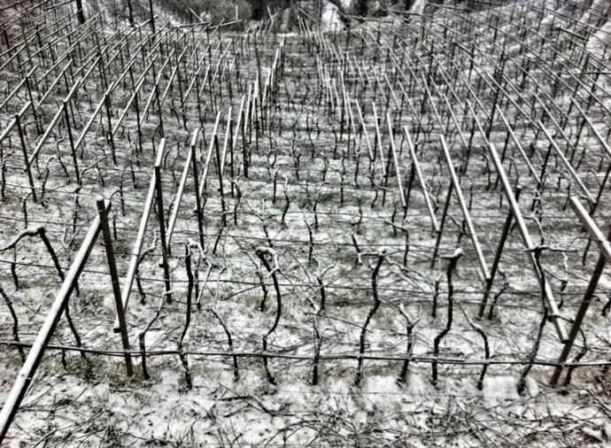 Weinberge-Winter