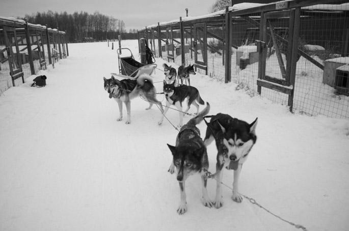 Husky-Safari-Finnland