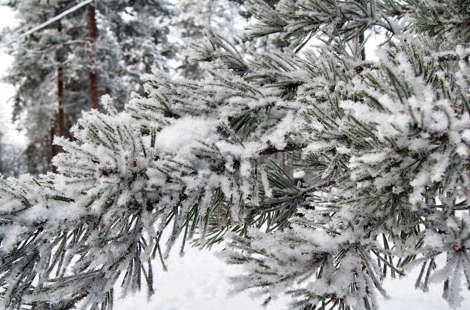 Schnee-Tanne