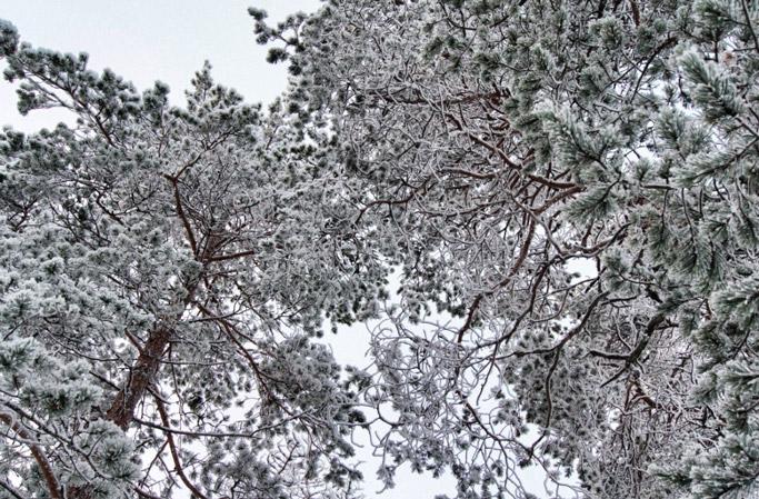 Winter-Finnland-Bäume