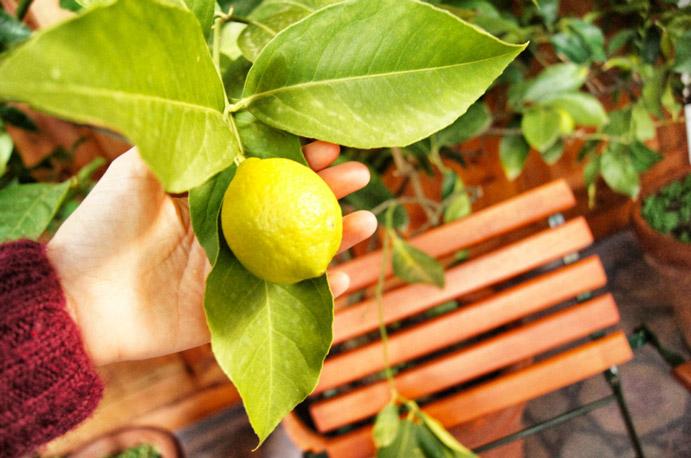 Zitronen-Meran