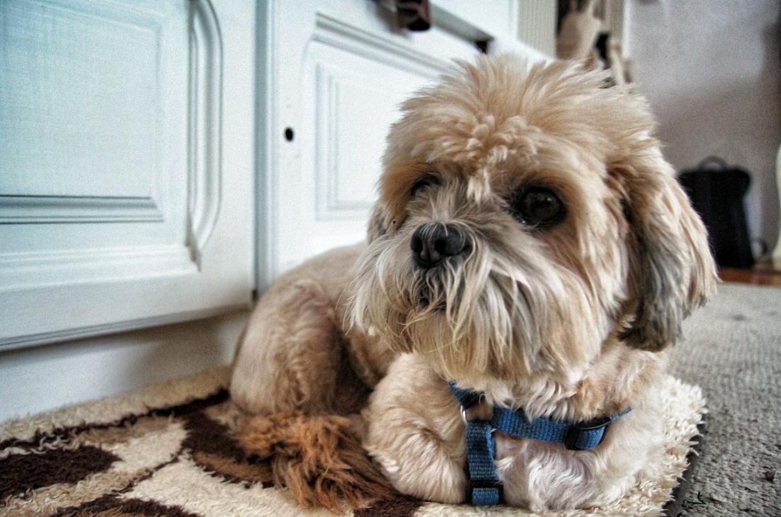 Benny-Hund