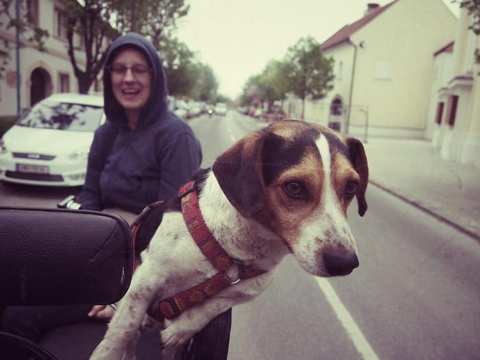 Hund-auf-Kutsche