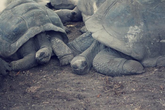 Schildkröten-La-Digue