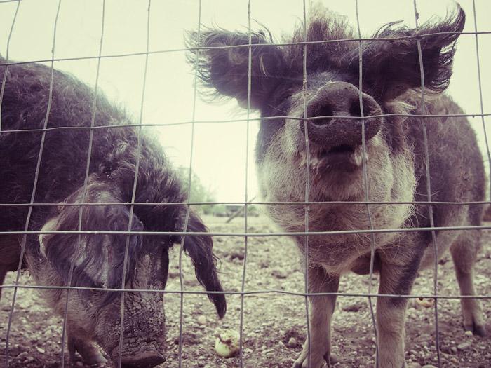 behaarte-Schweine