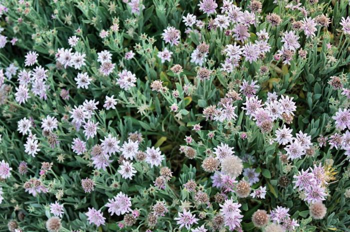 Blumen-Teneriffa