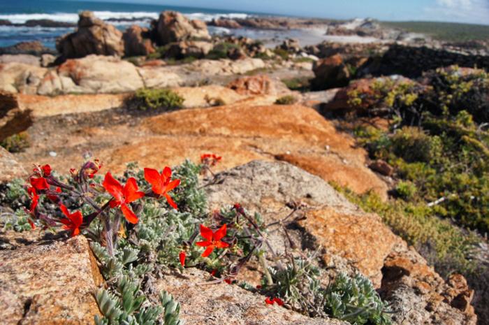 Blumen-Westküste-Südafrika-Namaqualand National Park