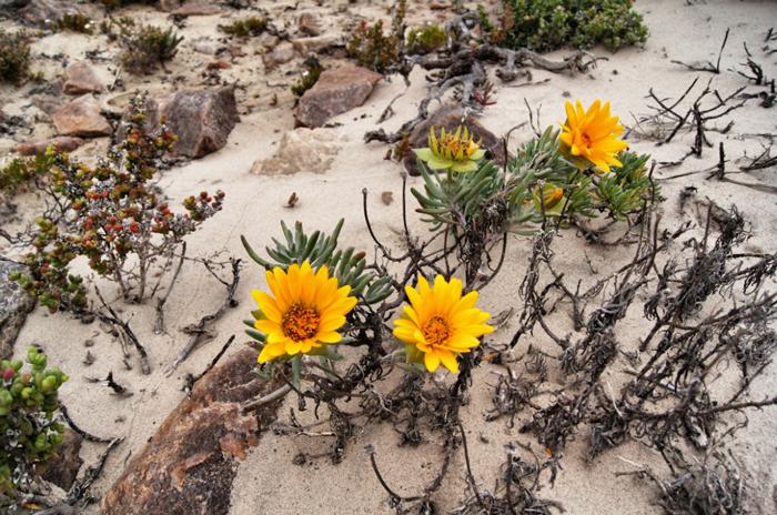 Südafrika-Blumen-Namaqualand National Park