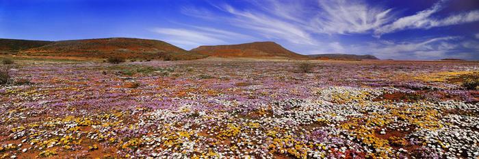 Südafrika_Namaqualandblüte,-Northern-Cape-1