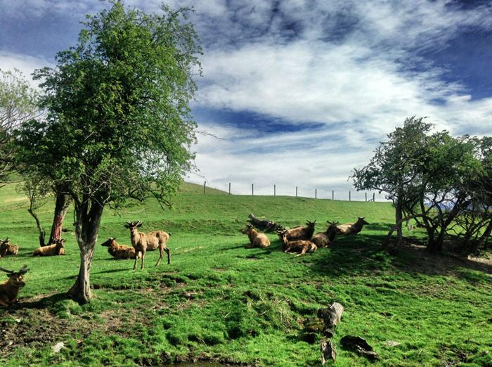 Neuseeland-Hirsche