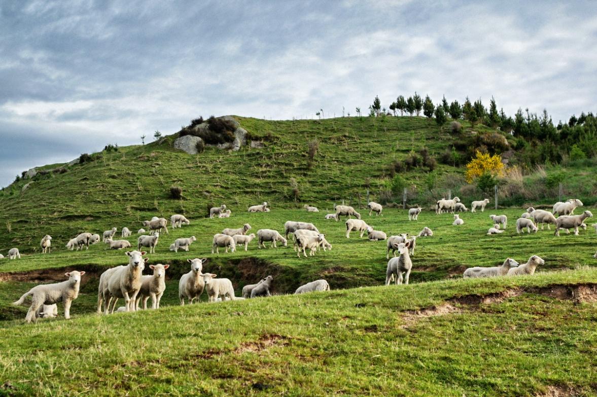 Neuseeland-Schafe-Weide