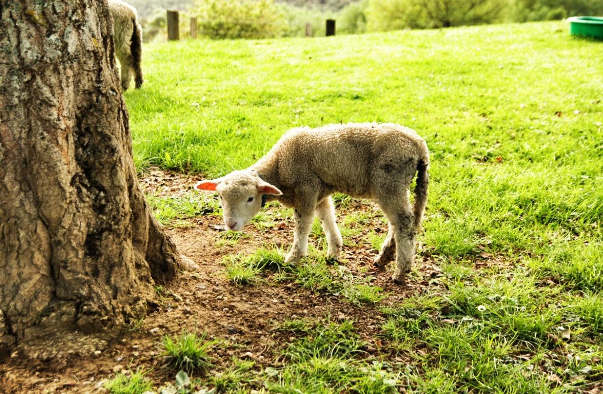 Schaf-in-Neuseeland