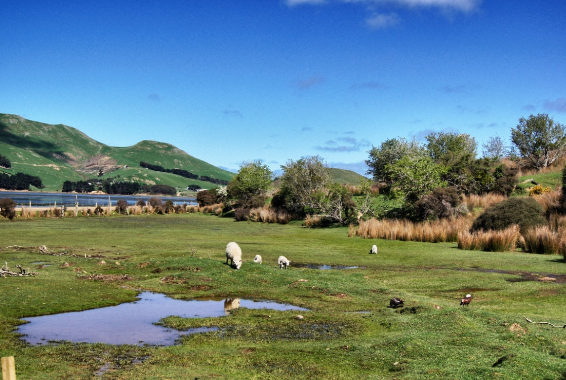 Schafe-Neuseeland-Landschaft