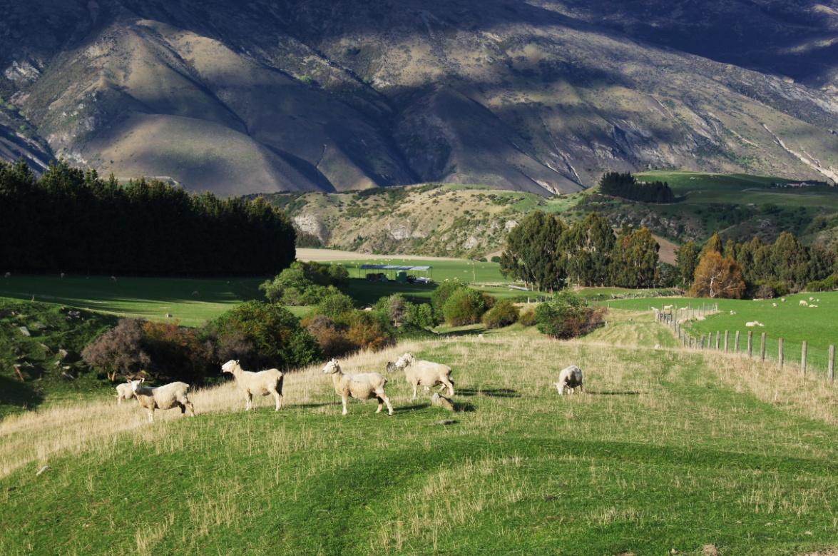 Schafe-auf-der-Weide-Neuseeland