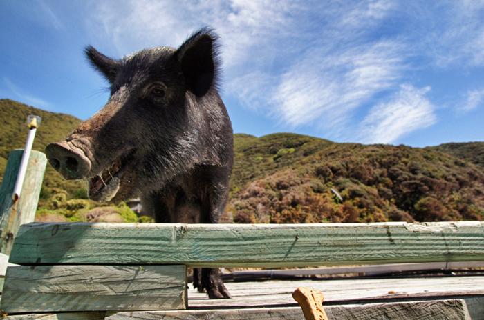Schwein-Marlborough-Sounds