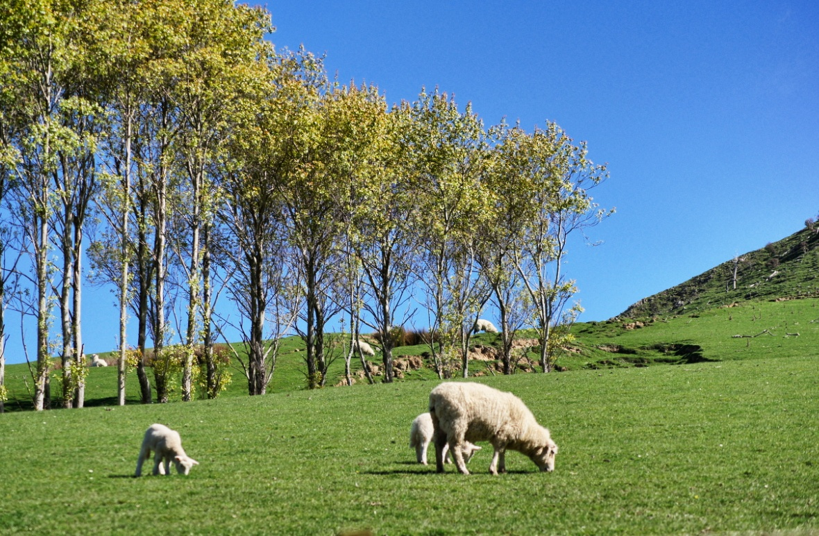 Weide-Schafe-Neuseeland