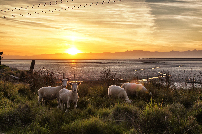 Schafe-in-Neusseland