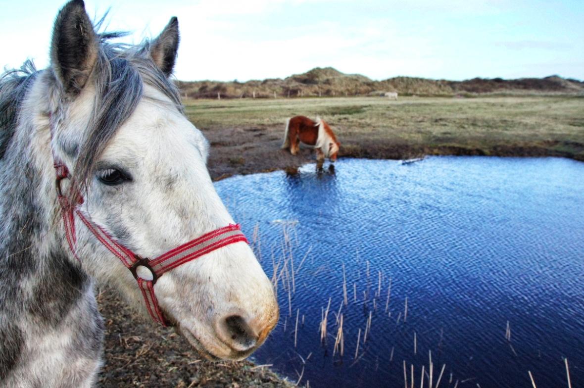 Pferde-Juist