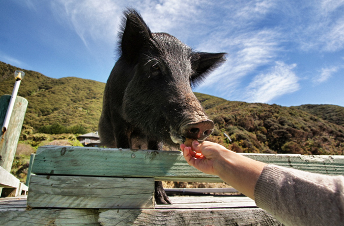 Marlborough-Sounds-Schwein