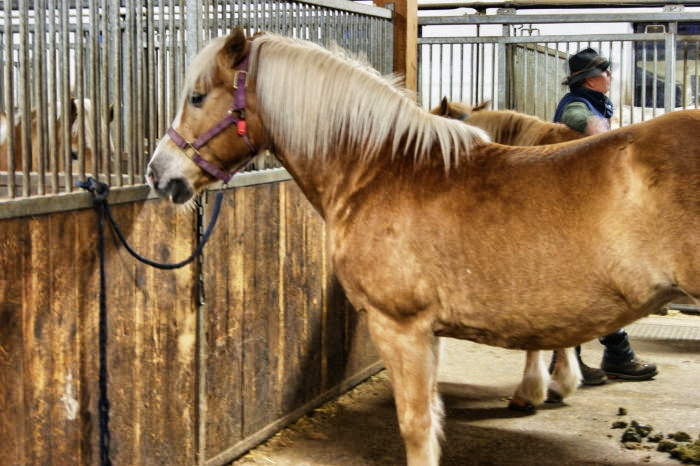 Meraner Land - Haflinger Pferde