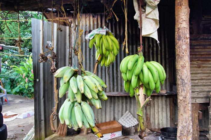 Bananen-Dominica