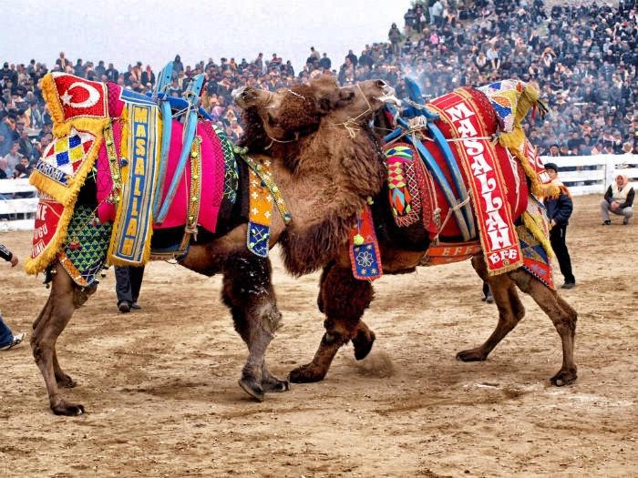 Camel Wrestling Turkey Independent
