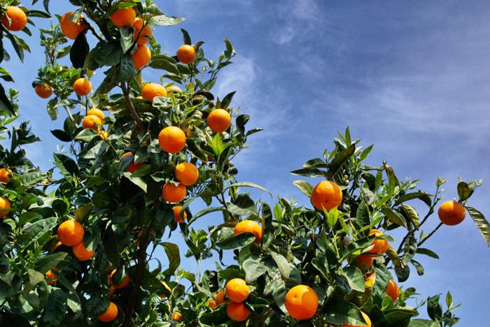 Orangen-Mallorca