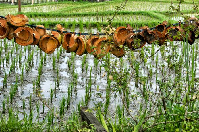 Kokosnüsse in Ubud