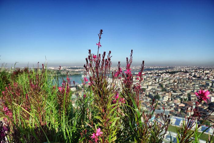 Istanbul-dachblume