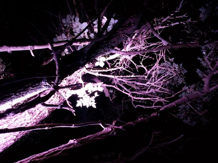 meeresrauschbaum