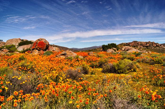 Blumenmeer-Afrika