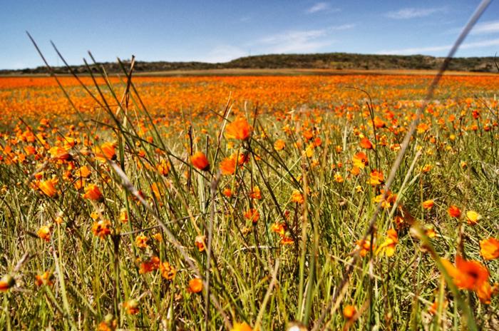 Blumenwiese-namaqualand