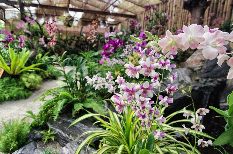 Kurumba-Orchideen