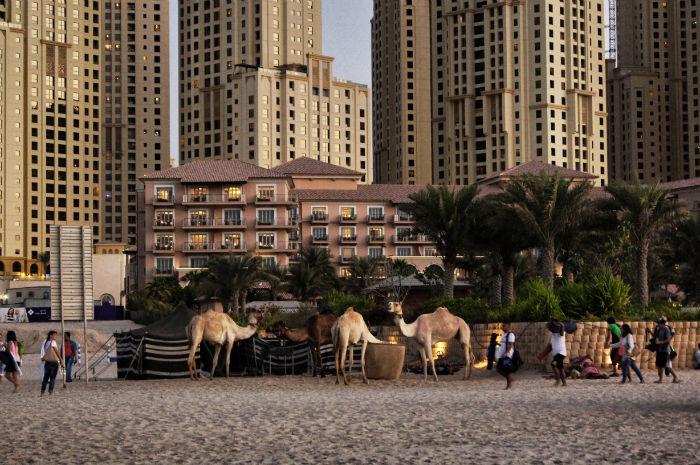 Dubai Jumeirah Beach Kamele