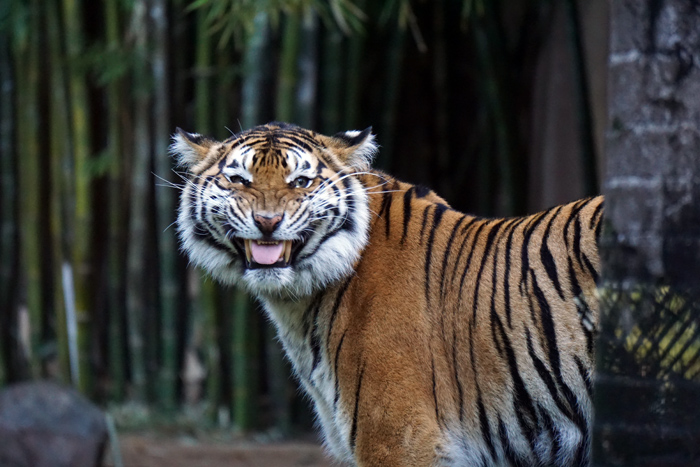 Ostküste_Australiens_AustraliaZoo_Tiger