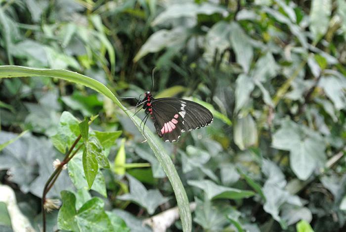 Tipps für Costa Rica_Schmetterling