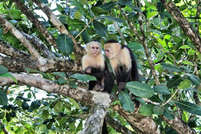 Tipps für Costa Rica_KApuzineraffen