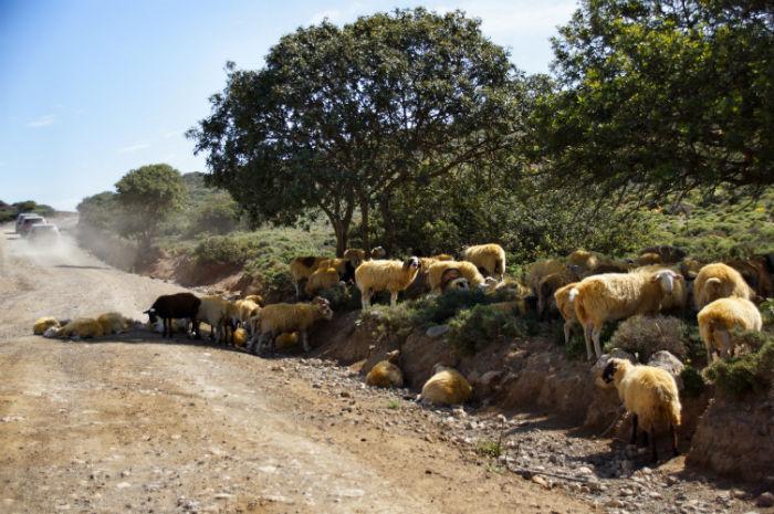 Roadtrip-auf-Kreta-Land Rover Adventure Greece_Schaafe