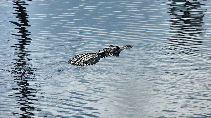 Everglades_Alligator-1