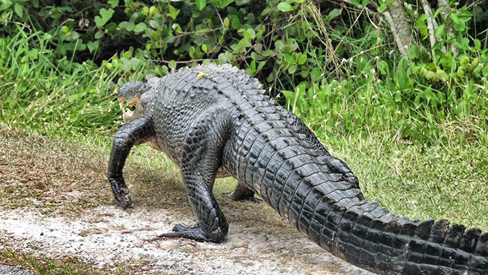 Everglades_Alligator-3