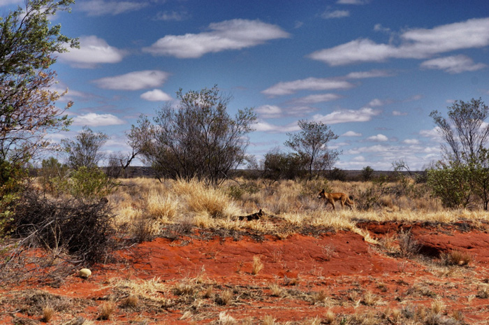 Dingo-Australien