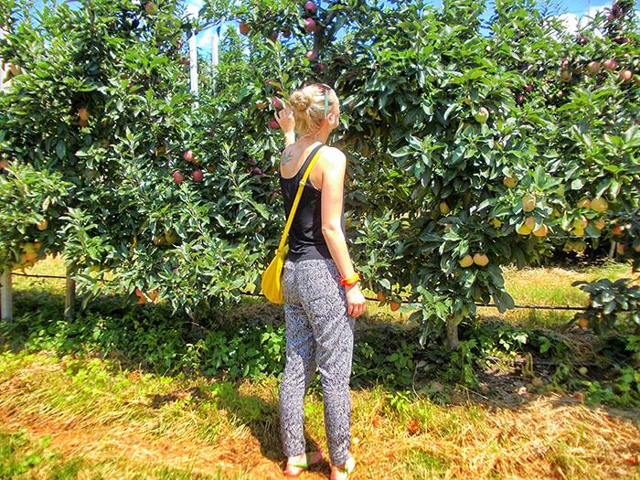 Meraner-Land-Apfelpflücken2