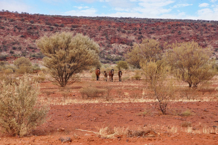 Wildpferde-Australien