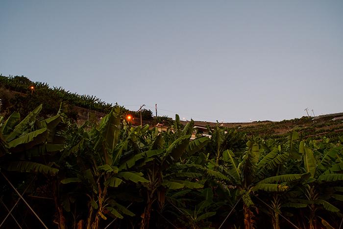 Madeira_Palmen